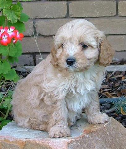 Cavoodle Puppies on Blenheim Puppies Are White
